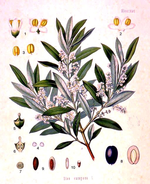 Olea_europaea,_Koehler_1887