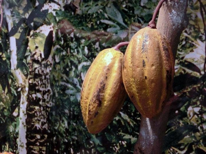 Manteca de cacao – Theobroma grandiflorum