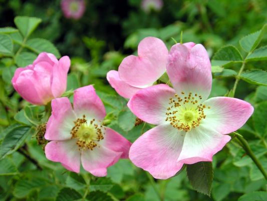 Aceite de Rosa Mosqueta MARNYS