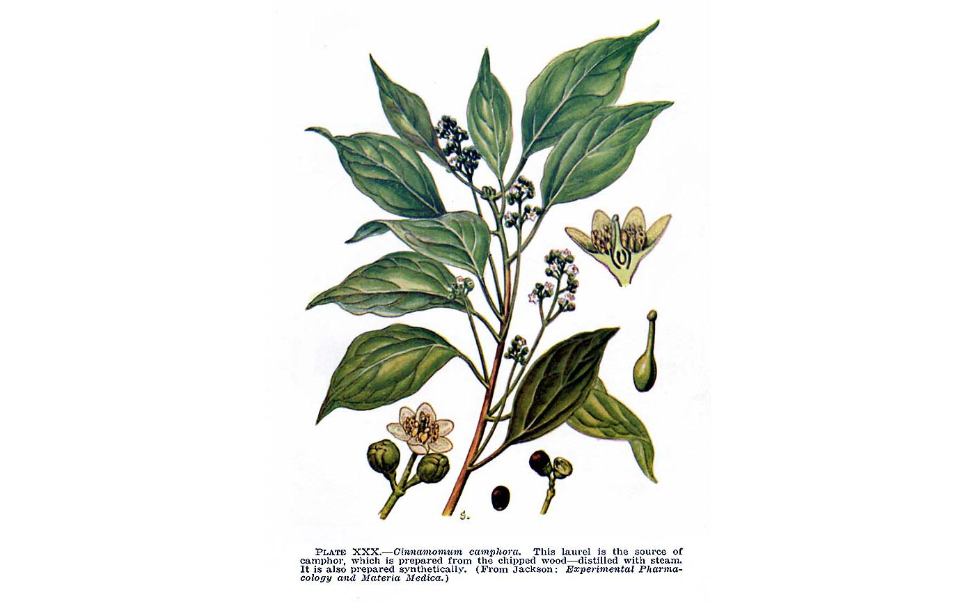 Aceite de ravintsara (Cinnamomum camphora)