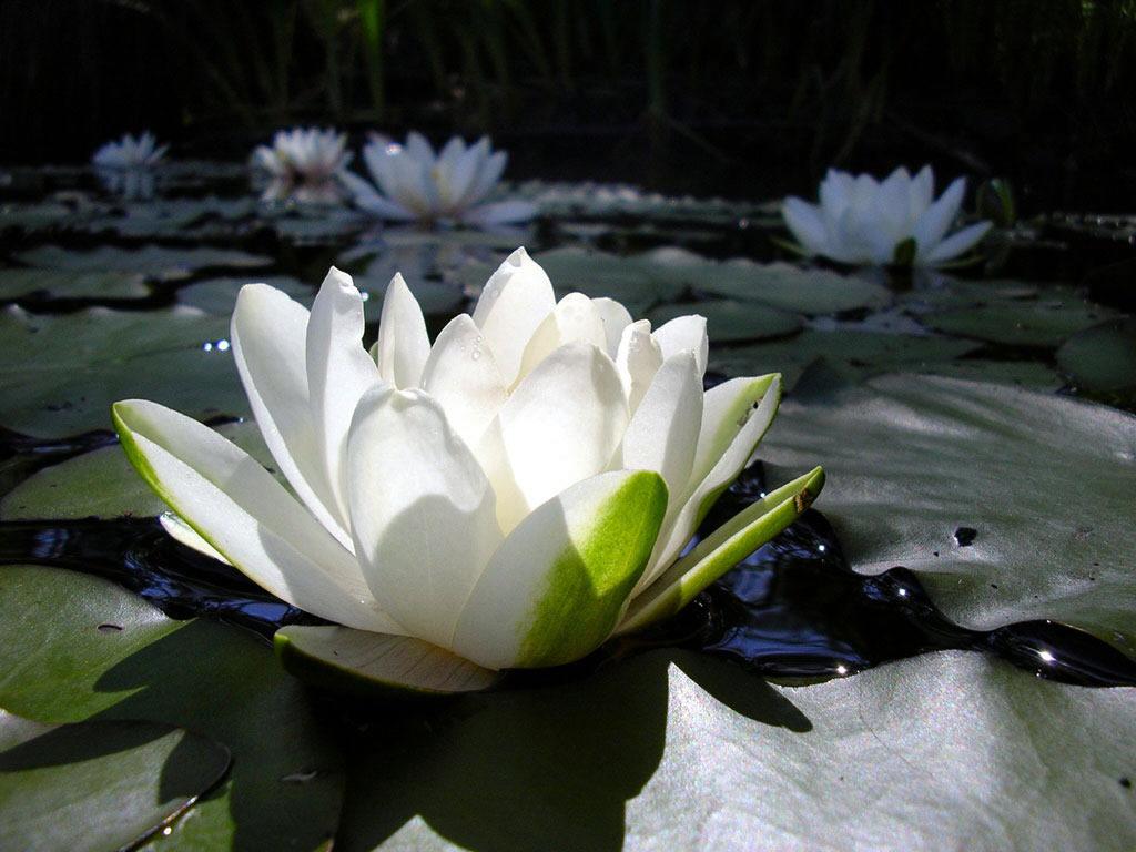 flor-loto-blanca[1]