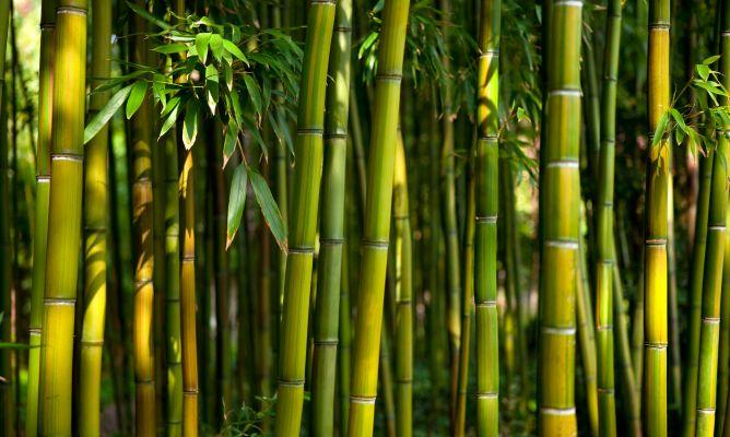Dulkamara Bamboo Crema Bioactiva FP6